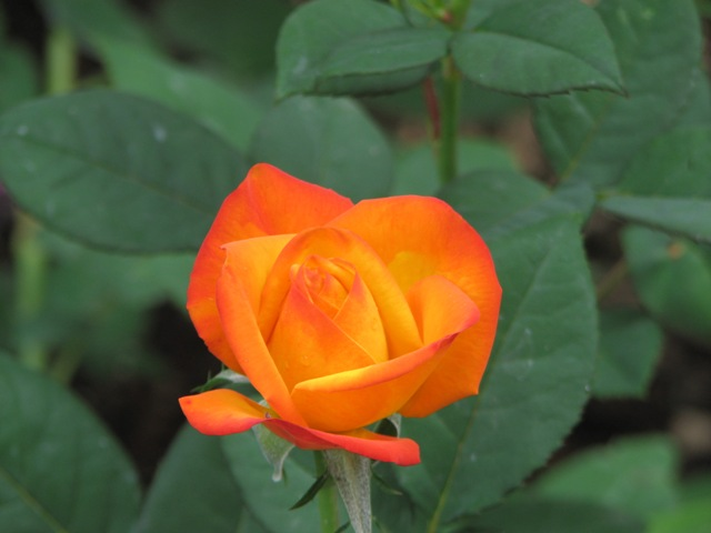Another Barni rose