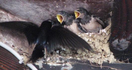 Swallows, July 15 2007