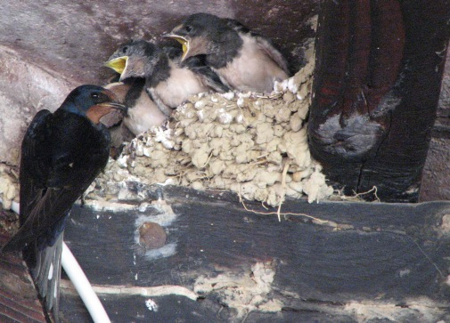 Swallows 2, July 15 2007