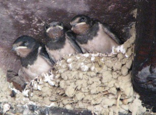 Swallows 3, July 15 2007