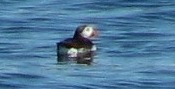 Puffin, Maine 2006