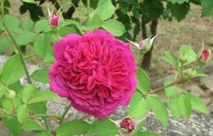 Shakespeare rose 2008