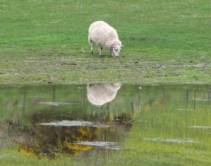 St. Abb\'s Head (Scotland) sheep