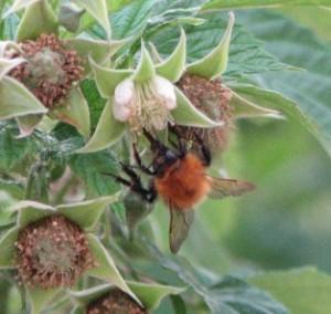 a bee on my raspberry bush