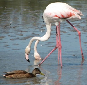 Two feeding flamingos