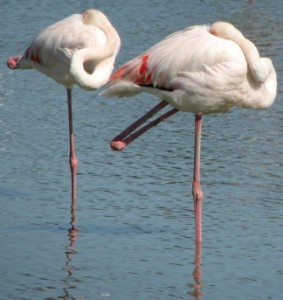 Two sleeping flamingos