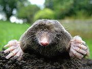 180px-Close-up_of_mole[1]
