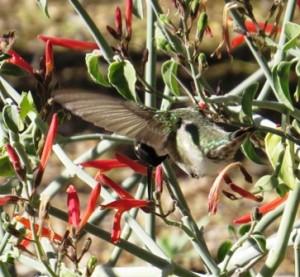Hummingbird, DBG, Phoenix