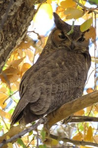 Great Horned Owl, DBG, Phoenix