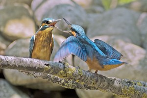 Msargaret Kingfishers fighting 1230335